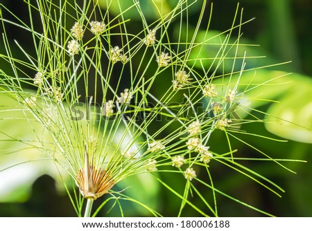 Close up view of papyrus green plant begin to bloom in spring - stock photo