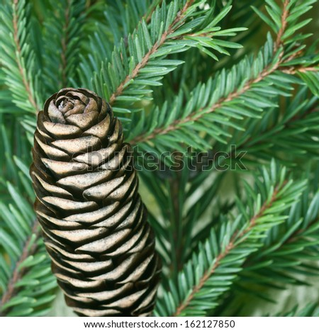 Close up view of pine cone with green tree - stock photo