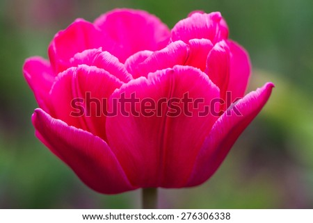Close-up view of pink blooming tulip in botanical garden - stock photo