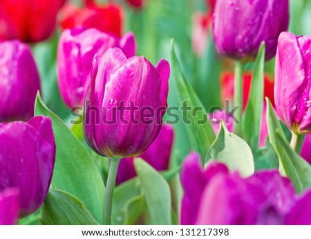 Close up view of purple tulip in spring day - stock photo