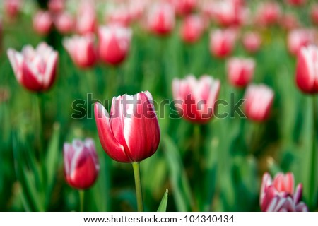 close up view of red tulips in the garden.