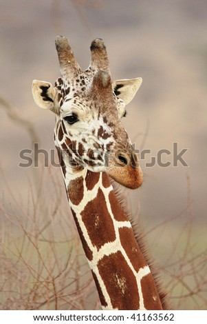 Close-up view of Reticulated giraffe in Samburu National Reserve, Kenya.