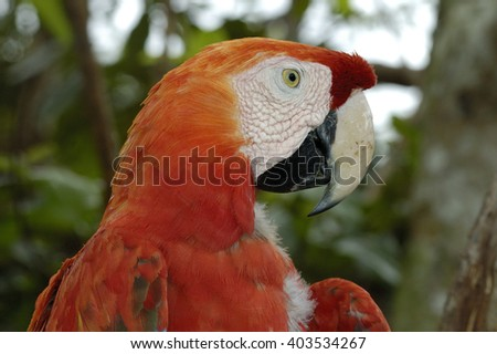 CLOSE-UP VIEW OF SCARLET MACAW ON A TREE IN BRAZIL