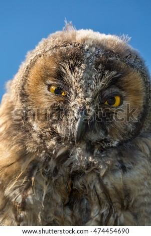 Close up view of the face of a young Scops owl looking directly into camera with big, bright yellow eyes in the morning sunshine with blue sky behind