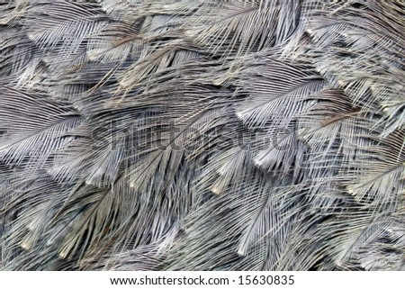 Close-up view of the feathers of an ostrich (Struthio camelus) - stock photo