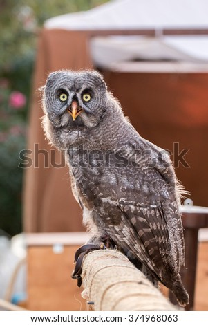 Close up view of the great gray owl (Strix nebulosa).