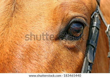 Close-up view of the horse's head. Focused on the eyeball. - stock photo