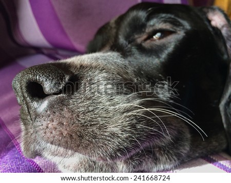 Close up view of the nose of a dog. Dog Whiskers - stock photo