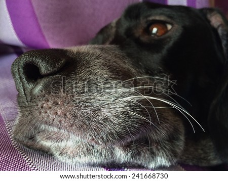 Close up view of the nose of a dog whih his whiskers - stock photo