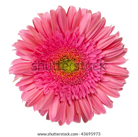 close up view of the pink daisy - stock photo