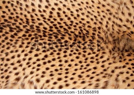Close-up view of the skin of a cheetah (Acinonyx jubatus)  - stock photo