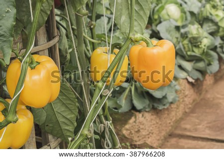 Close up view of three fresh orange bell peppers, sweet pepper or capsicum growing on a green pepper plant - stock photo