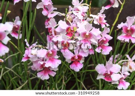Close-up view of Vanda Miss Joaquim orchid in Singapore Botanic Gardens - stock photo