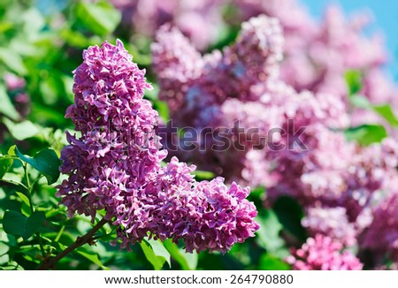 Close-up view of violet lilac flower inflorescence in sunny spring day - stock photo