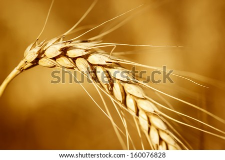 Close up view of wheat ears on the field - stock photo