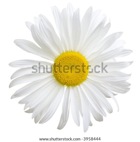 Close-up view of white daisy on white