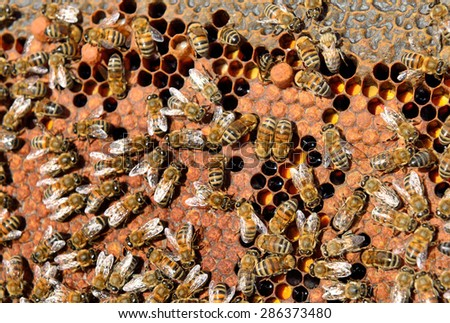 Close up view of working bee on honey-cells - stock photo
