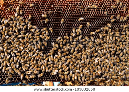 Close up view of working bee on honeycells
