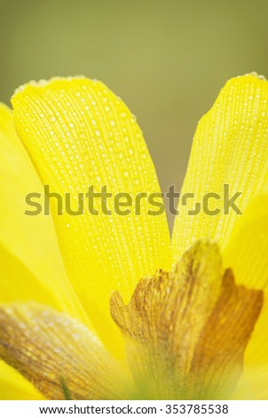 Close-up view of yellow daffodil (narcissus) flower with dew drops. - stock photo