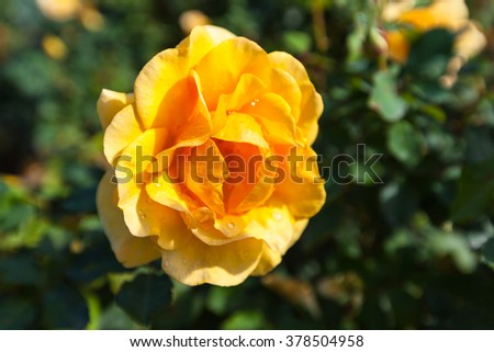 Close up view of yellow rose with dew,  green leaf in background. - stock photo