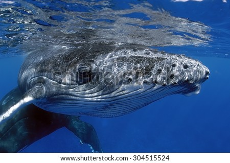 CLOSE-UP VIEW OF YOUNG HUMPBACK WHALE - stock photo