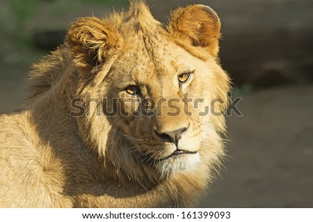 Close up view of young lion head. Horizontally.