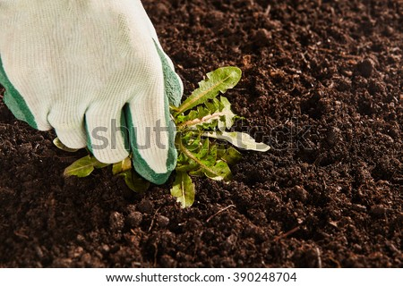 Close up view on unidentifiable gardener cloth and rubber glove pulling up single broad leaf weed from patch of bare garden soil - stock photo