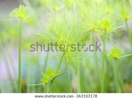Close up view papyrus green plant as background abstract - stock photo