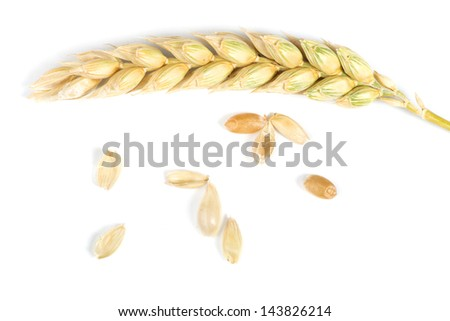 Close up wheat cereal crops. Studuo shot. White isolated