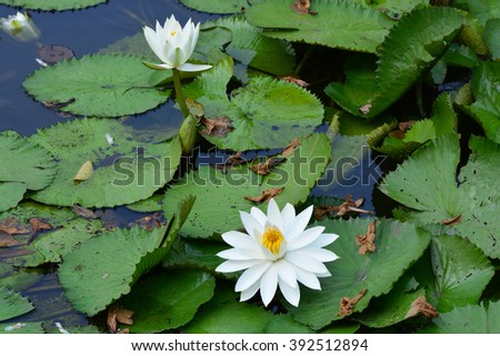 close up white color fresh lotus blossom or water lily flower blooming on pond background, Nymphaeaceae - stock photo