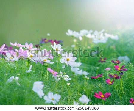 close up white cosmos flowers field in the park with green soft feeling and blur background - stock photo