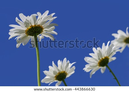 Close up white daisy flowers from below against blue sky - stock photo