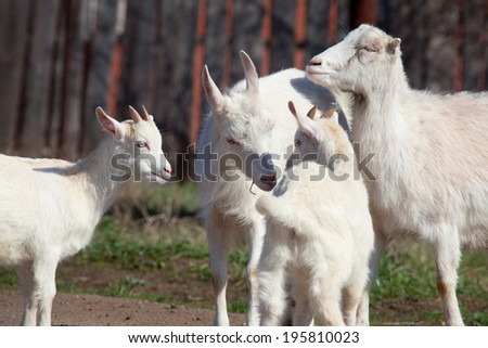 close-up white goat with kids in the yard village house sunny spring day