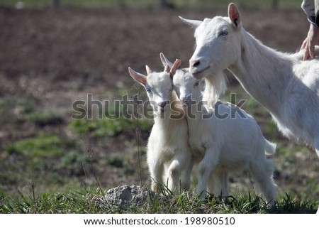 close-up white goat with kids in the yard village house sunny spring day - stock photo