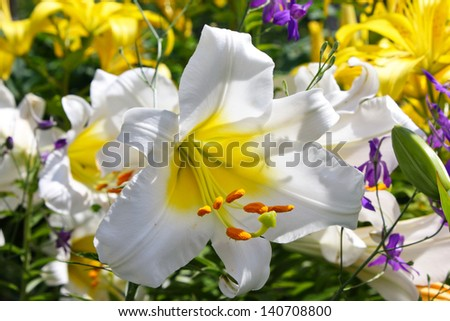 Close up white lily flowers in garden - stock photo