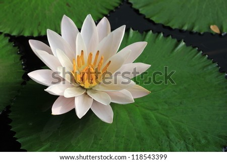 close up white lotus