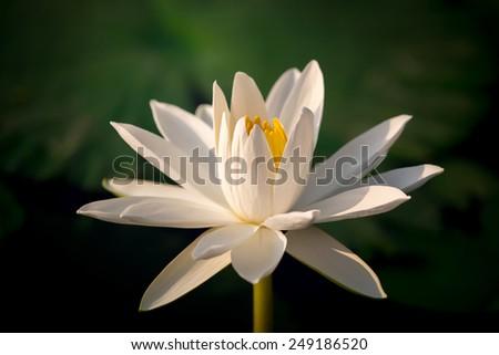 Close up white lotus. - stock photo