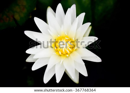 close up white lotus in pond