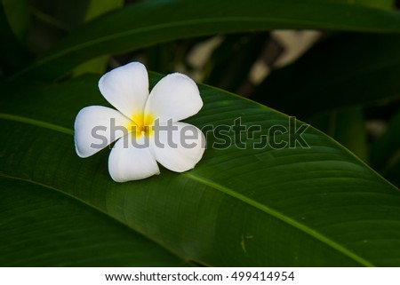 close up White plumeria on the plumeria tree, frangipani tropical flowers. soft Focus,Plumerias on the green leaf