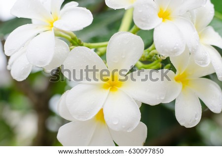 Close up white  plumeria or frangipani flowers with water drop in the park.