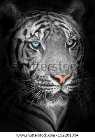 Close up White tiger face, isolated on black background