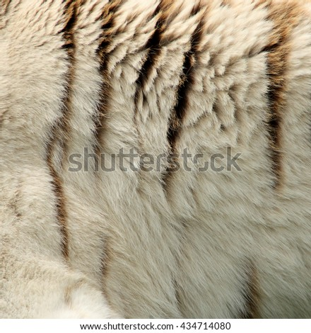 Close up white TIGER flank. Tiger stripes. - stock photo