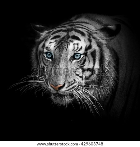 Close up White tigers face, isolated on black background.  - stock photo