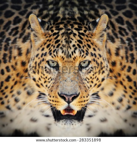 Close-up wild leopard portrait on the dark background - stock photo