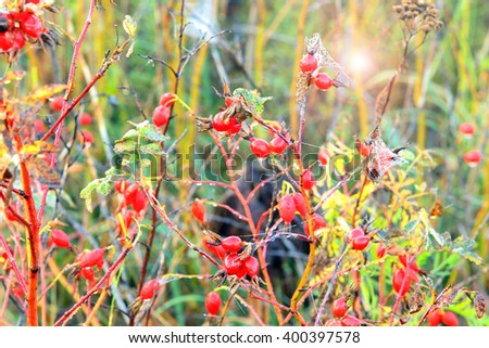 close-up wild ripe rose hips in the cobweb and dew in the foggy morning - stock photo