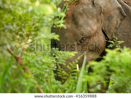 Close-up wildlife photo of  Sri Lankan Elephant, Elephas maximus, detail of head among green leaves in forest of UdaWalawe national park, Sri Lanka. - stock photo
