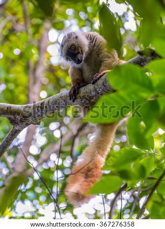 Close up wildlife portrait of lemur gaze on Lokobe Strict Nature Reserve in Nosy Be, Madagascar, Africa - stock photo