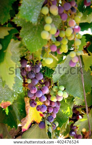 Close up Wine Grapes on the Vine. Wine culture. - stock photo