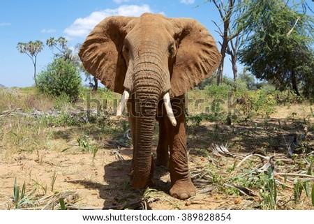 close-up with an elephant at samburu national park kenya - stock photo