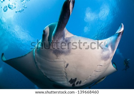 Close up with manta ray with a nice view of the sky in maldives - stock photo